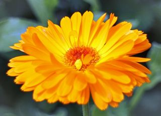 Beautiful, orange coloured, calendula flower makes a remedy used to assist healing.